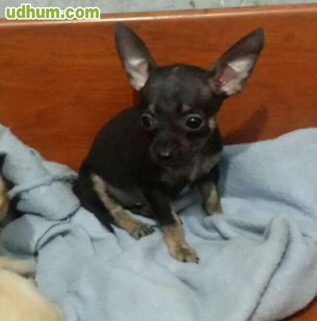 Chihuahua toy de 1kilo 100 for Vendo chihuahua barcelona