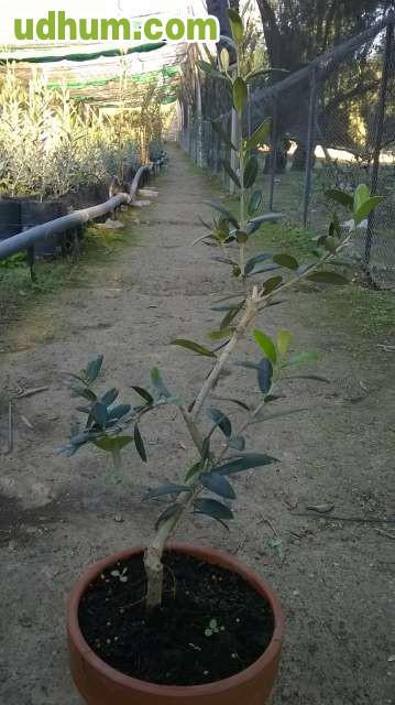 Vivero de olivos plantones nebulizados for Viveros de olivos
