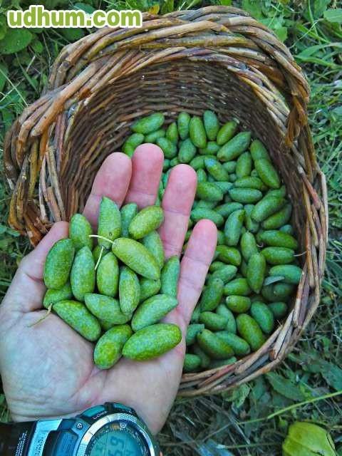 Vivero de olivo manzanillos y cornicabra for Viveros de olivos