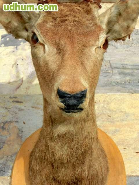 Cabeza de ciervo disecado taxidermia for Cabeza de ciervo