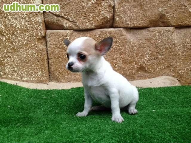 Chihuahuas 495 for Vendo chihuahua barcelona