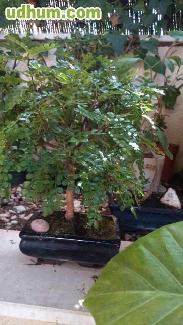 Vendo bonsai pimentero japon s - Somier japones ...