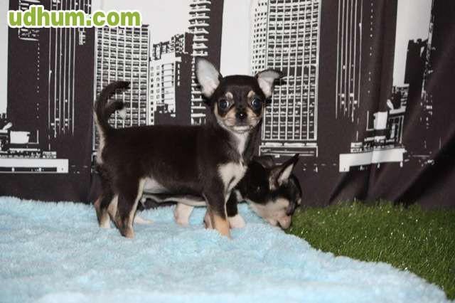 Chihuahua hembra de 2 meses y medio for Vendo chihuahua barcelona