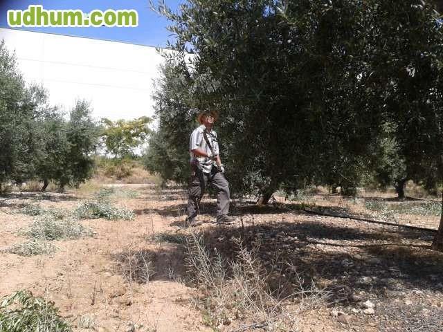 Poda de olivos Trabajo jardinero girona