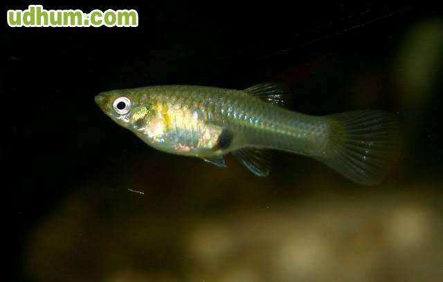 Gupies salvaje for Comida viva para peces