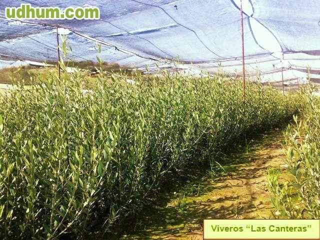 Vivero plantas de olivos for Viveros de olivos