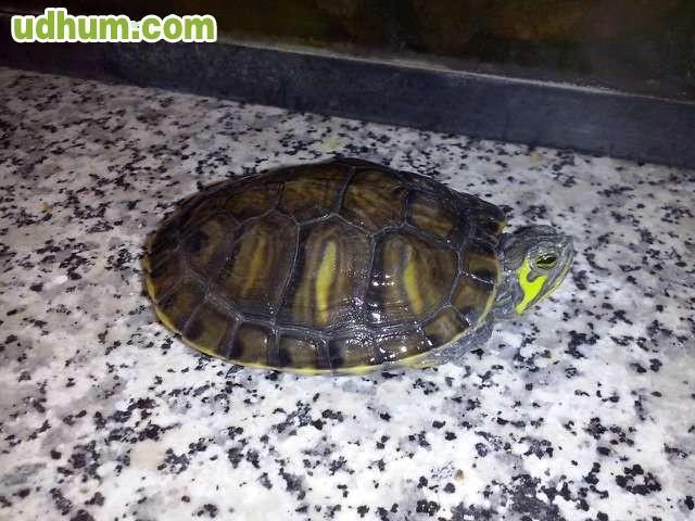 Vendo tortugas de agua for Vendo estanque para agua