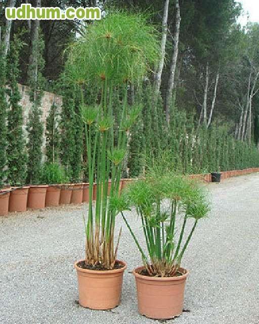 Plantas acuaticas de estanque for Plantas estanque