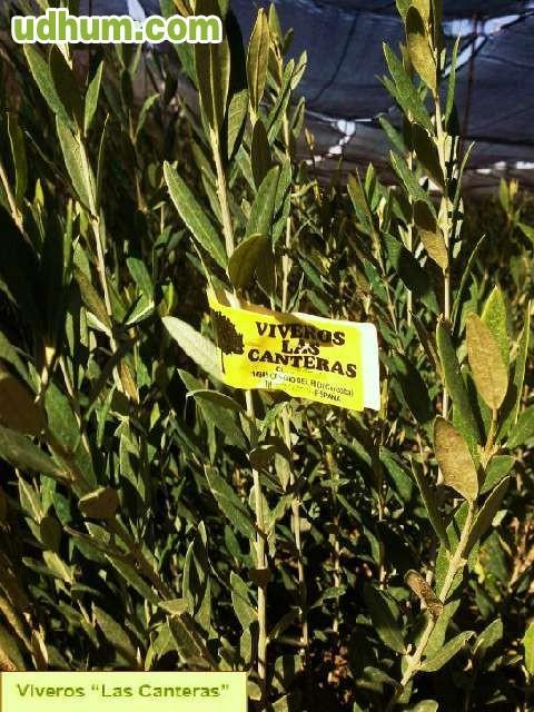 Vivero plantas de olivos 1 for Vivero a domicilio