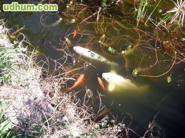 Peces de estanque vendo o cambio for Produccion de peces en estanques