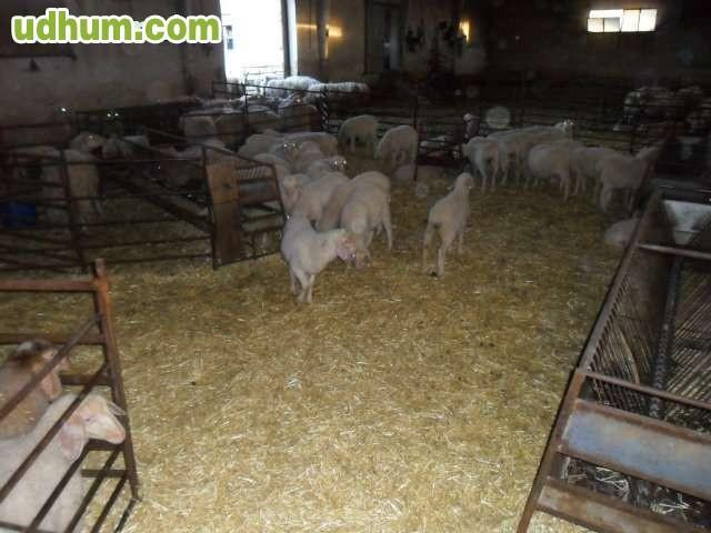Se venden ovejas por jubilaci n for Gimnasio 88 torreones avila