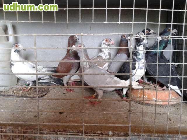 Fotos de palomas mensajeras de colores 51