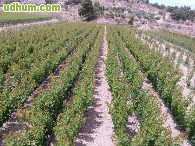 Vivero de almendros frutales y olivos for Viveros de olivos