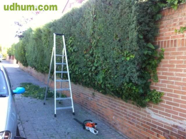Jardinero corta arisonica hiedra - Trabajo jardinero madrid ...